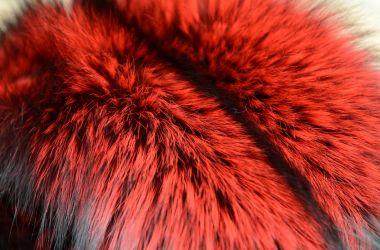 volpe argentata rossa colore pelliccia must have 2017 2018